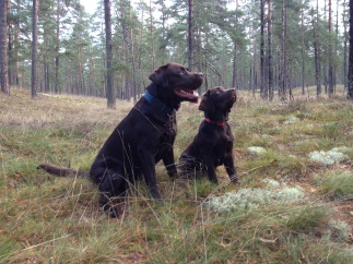 two chocolate labs 27.10.2013.