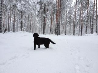 Ziema Baltezera mežā 08.12.2013.