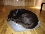 Mafins var saritināties šokolādes kamolā un ietilpt Mango gultā