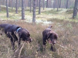 Chocolate labradors: Muffin & Mango